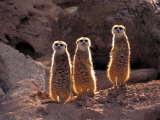 Meerkats in the Phoenix Zoo  Arizona  USA