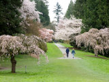 Cherry Trees Blossoming in the Spring  Washington Park Arboretum  Seattle  Washington  USA