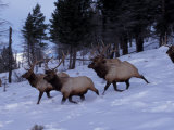 Elk or Wapiti  Yellowstone National Park  Wyoming  USA