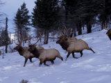 Elk or Wapiti  Yellowstone National Park  Wyoming  USA