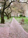 Cherry Trees in Bloom at the Quad  University of Washington  Seattle  Washington  USA