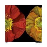 Red & Yellow Poppy I