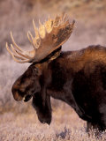 Bull Moose  Grand Teton National Park  Wyoming  USA