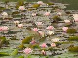 Water Lilies  Japanese Garden  Washington Park Arboretum  Seattle  Washington  USA