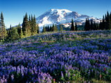 Mt Rainier from Mazama Ridge  Mount Rainier National Park  Washington  USA