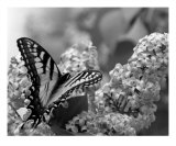 Swallowtail And Lilacs