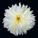 White Dahlia