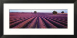 Lavender Field  Fragrant Flowers  Valensole  Provence  France