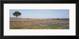 Texas Bluebonnets and Indian Paintbrushes in a Field  Texas Hill Country  Texas  USA