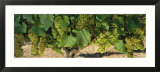 Chardonnay Grapes on the Vine  Napa California  USA