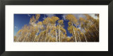 Aspen Trees  Uncompahque National Park  Colorado  USA