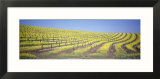 Vineyard on a Hill  Napa Valley  California  USA
