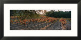 Vineyard on a Landscape  Sonoma County  California  USA