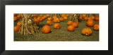Corn Plants with Pumpkins in a Field  South Dakota  USA