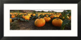 Pumpkins in a Field  Half Moon Bay  California  USA