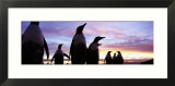 Silhouette of a Group of Gentoo Penguins  Falkland Islands
