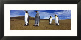 Four King Penguins Standing on a Landscape  Falkland Islands