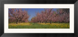 Cherry Trees in an Orchard  South Haven  Michigan  USA