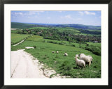 Sheep on the South Downs Near Lewes  East Sussex  England  United Kingdom