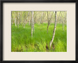 Paper Birch Trees on the Edge of Great Meadow  Near Sieur De Monts Spring  Acadia National Park