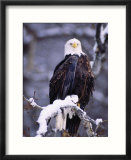 Bald Eagle  Chilkat River  AK