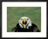 Adult Male Bald Eagle