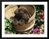 Chocolate Labrador retriever in basket