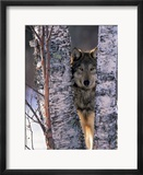 Gray Wolf Near Birch Tree Trunks  Canis Lupus  MN