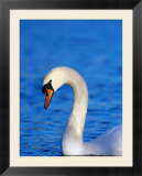 Mute Swan Or White Swan (Cygnus Olor)  United Kingdom