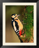 Male Great Spotted Woodpecker (Dendrocopos Major)  United Kingdom