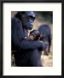 Female Chimpanzee Cradles Newborn Chimp  Gombe National Park  Tanzania