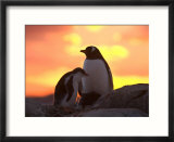 Gentoo Penguin and Chick  Antarctica