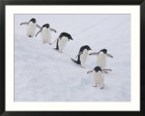 Group of Adelie Penguins at Steep Face of an Iceberg  Antarctic Peninsula