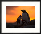 Gentoo Penguins Silhouetted at Sunset on Petermann Island  Antarctic Peninsula
