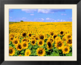 Wild Colors of Sunflowers  Jamestown  North Dakota  USA