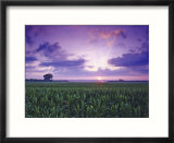 Sunrise over Field Corn  Hermann  Missouri  USA