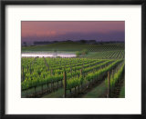Sunrise on the Fog Behind Vineyard in Napa Valley  California  USA
