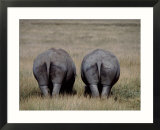 White Rhinos in African Plain  Kenya