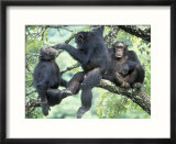 Male Chimpanzee Grooms His Brother  Gombe National Park  Tanzania