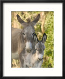 Mother and Baby Donkeys on Salt Cay Island  Turks and Caicos  Caribbean
