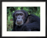 Male Chimpanzee Relaxing  Gombe National Park  Tanzania