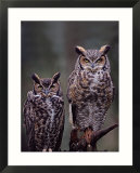 Great Horned Owls  Washington  USA