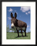 Domestic Donkey  Wisconsin  USA