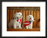 Maltese Dogs Wearing the American Flag