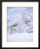 Reindeer Stag in Winter Snow (Rangifer Tarandus) from Domesticated Herd  Scotland  UK