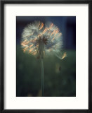Dandelion Backlit By the Sun
