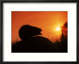 Hedgehog (Erinaceus Europaeus) Silhouette at Sunset  Poland  Europe