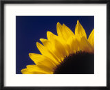 Sunflower in studio close-up