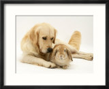 Golden Retriever Smelling Sandy Lop Rabbit