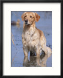 Golden Retriever in Water  USA  North America